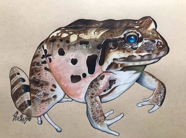 Jason Manchand - Arist Series - Mountain Chicken Frog